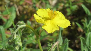 Rock Rose (Heliantemo), la Flor de Bach para el pánico