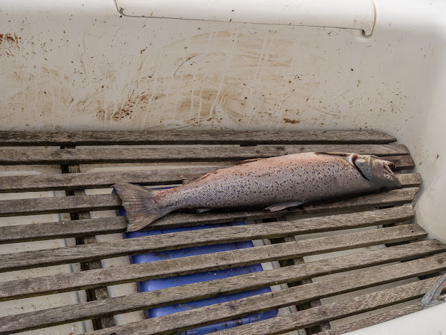 Photo of the kamikaze sea trout that was found dead on a yacht in Maryport Marina