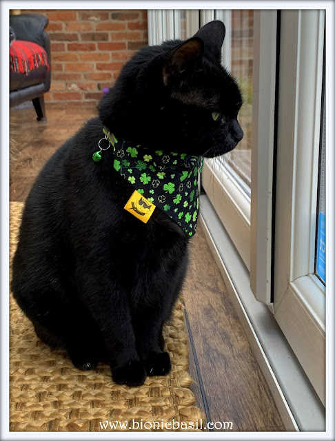 St Patrick's Day ©BionicBasil® Lucky Parsley in his Clover Bandana