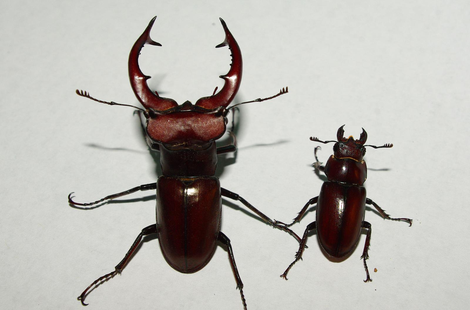 Stag Beetle Bite