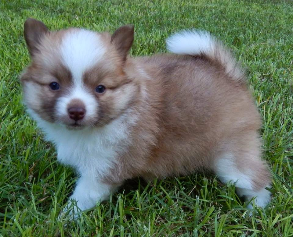 25+ Pomsky Puppies Pictures and Images