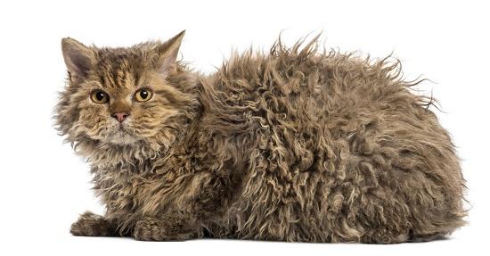 Cara Mengatasi Bulu Kucing Gimbal