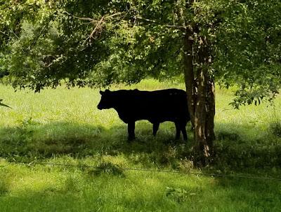 Black steer under a tree
