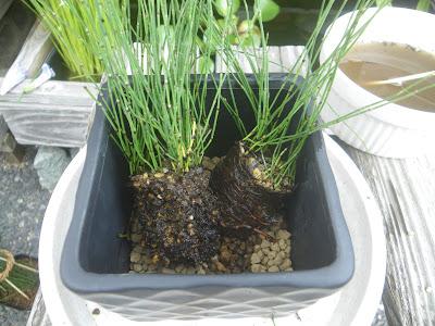 植え付け 陶器の鉢