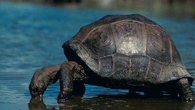 Habitat & Karakteristik Kura-Kura Raksasa Aldabra