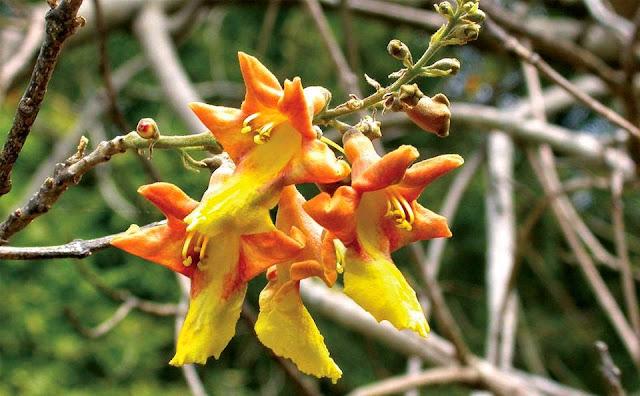 ඇත්දෙමට [Ethdemata] (Gmelina Arborea) - Your Choice Way