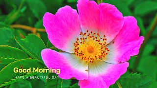 Pink color Flower greetings.good morning wishes images with Prairie rose Flower.