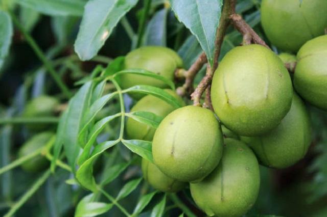 gambar buah kedondong
