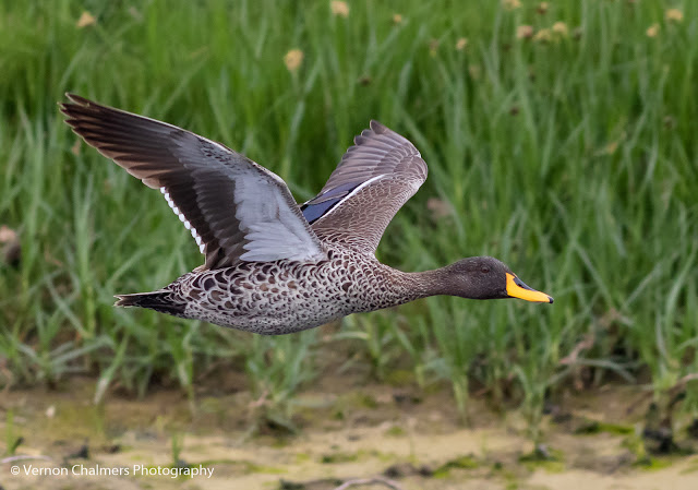 Yellow-billed duck in flight at Woodbridge Island, Cape Town