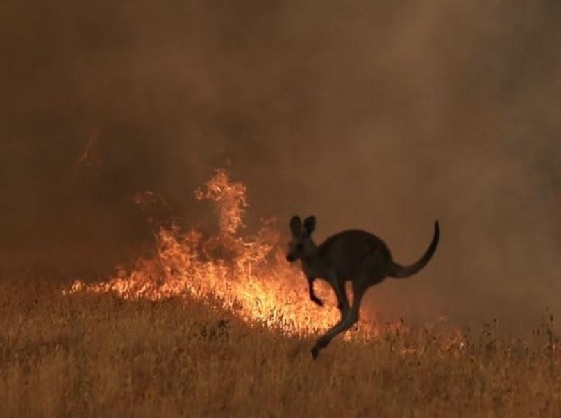 kangaroo, australia bushfire