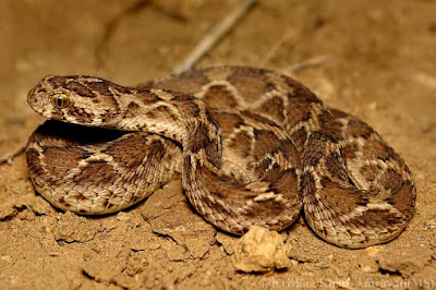 snake-for-saw-scaled-viper