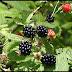Health Benefits Of Eating Blackberries