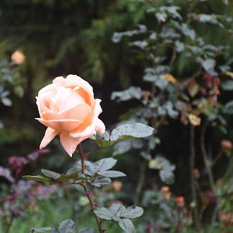 Sandal White Rose @ Rose Garden Ooty