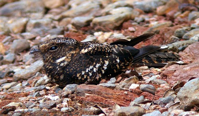 Greater band winged Nightjar