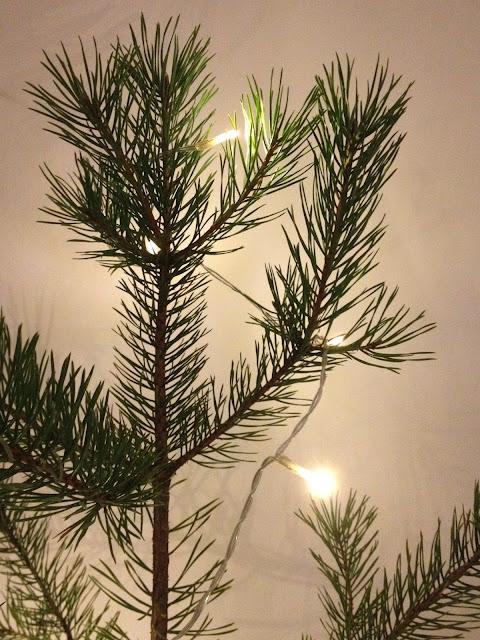 Joulupuu, mänty