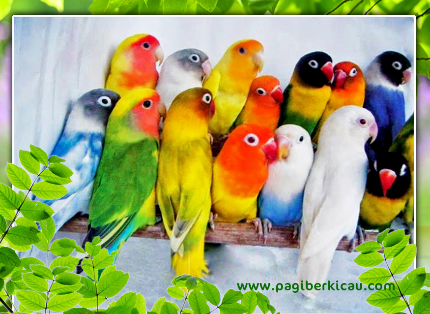 Si Cantik Cerewet Burung Lovebird