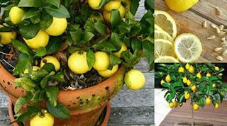 تعلم كيفية زراعة الليمون في المنزل في 7 خطوات سهلة واقتصادية... روعة !!!