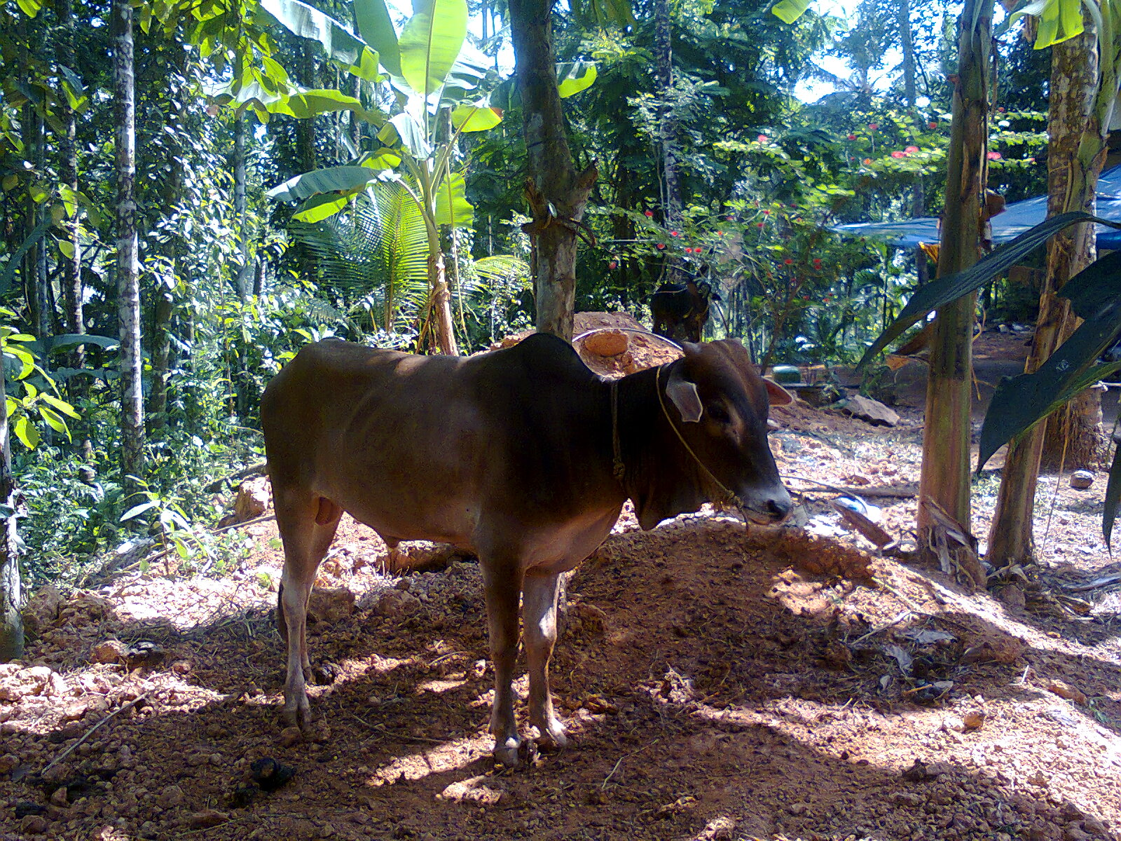 Smallest Cow In The World Vechur Bull Pd Sumesh