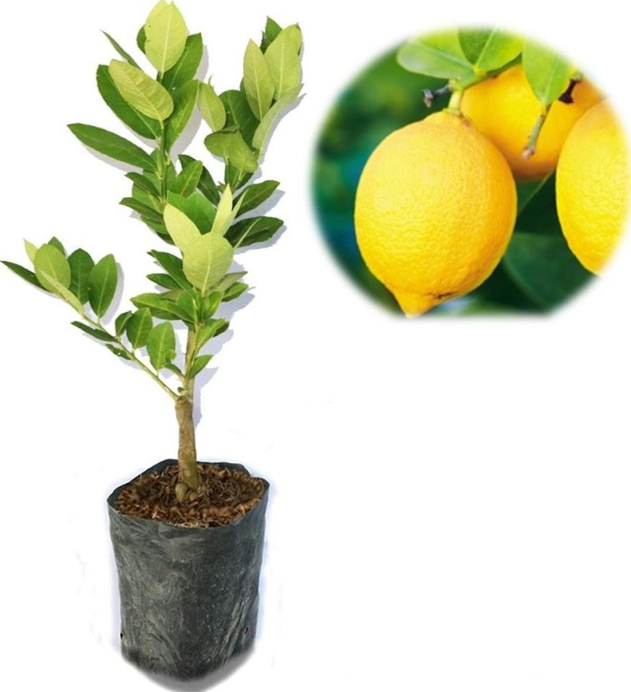 Bibit Jeruk Lemon Bangkok Super Buah Besar Sulawesi Selatan