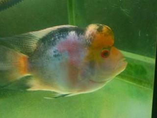 Informasi mutasi ikan louhan menjadi louhan gb
