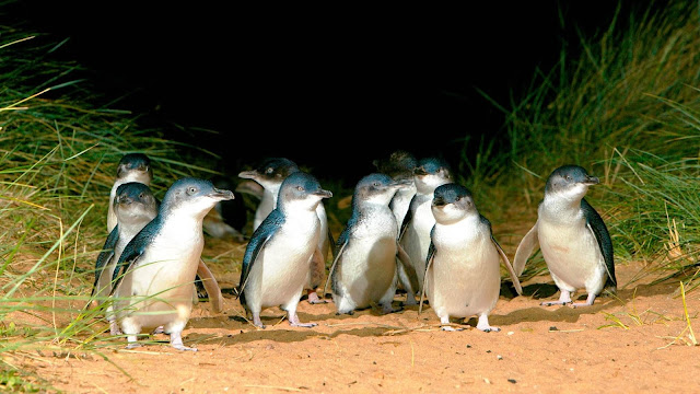 Australia government takes a unique decision to save the existence of penguins