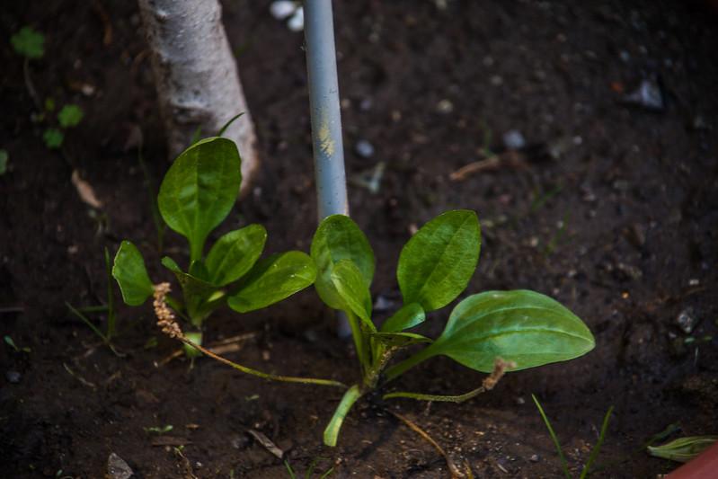 planta de llantén silvestre