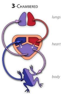 Jantung amfibi