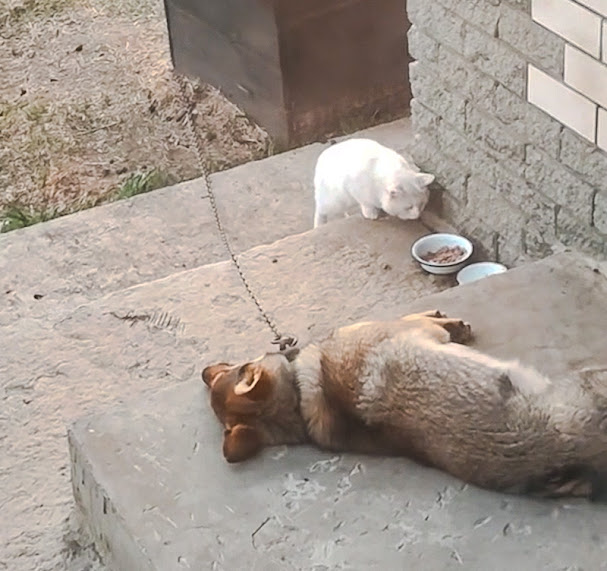 Stray cat tries to steal dog's food