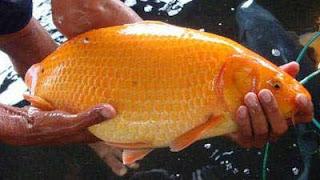 Umpan Mancing Ikan Mas Campuran Pelet Ampuh jitu, ampuh, terbaru
