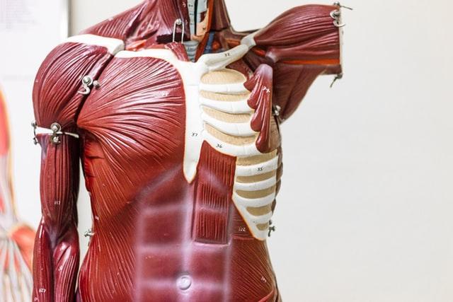 aprende ingles cuerpo humano torso anatomia modelo maniqui