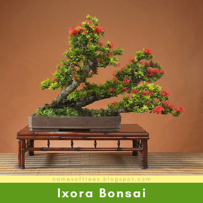 Ixora Bonsai