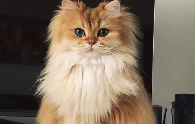 القط البريطاني ذو الشعر الطويل