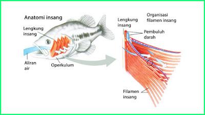 materi pelajaran kelas 5 sd tema 2 k13 sistem pernapasan pada ikan atau pisces