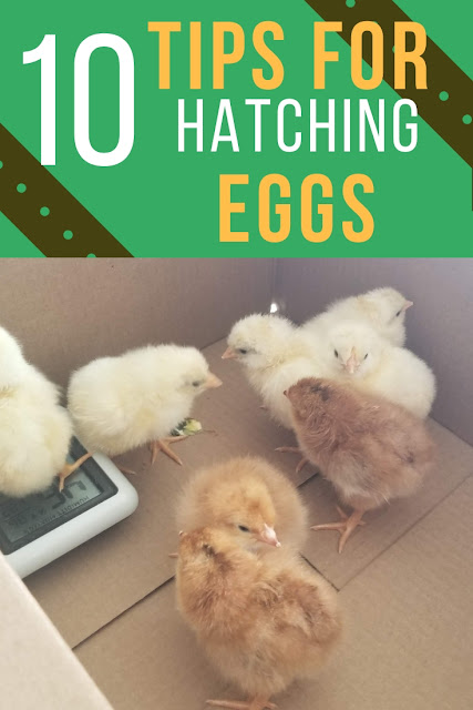 10 tips for hatching chicken eggs with a higher success rate than your neighbor.