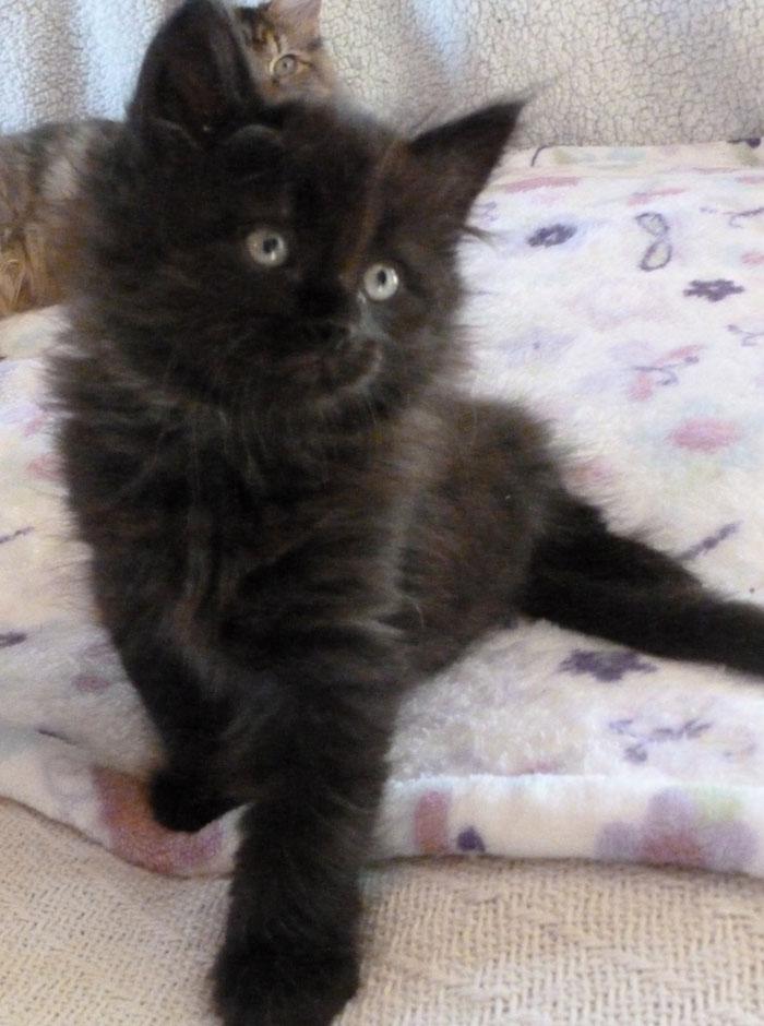Prekrasne Siberian Cats Sirius Black