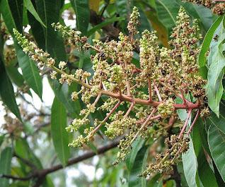Ciri Ciri Pohon Mangga yang Akan Berbunga