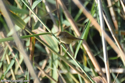 Boscarla de canyar (Acrocephalus scirpaceus)