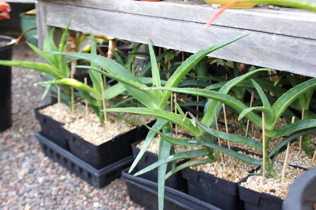 Aloe thraskii seedlings 1yr old