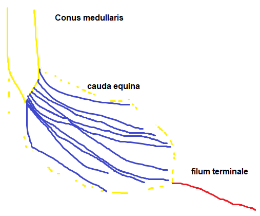 Medical Student Review Cauda Equina Conus Medullaris Filum Terminale The filum terminale is a delicate strand of fibrous tissue, about 20 cm in length, proceeding downward from the apex of the conus medullaris. cauda equina conus medullaris filum