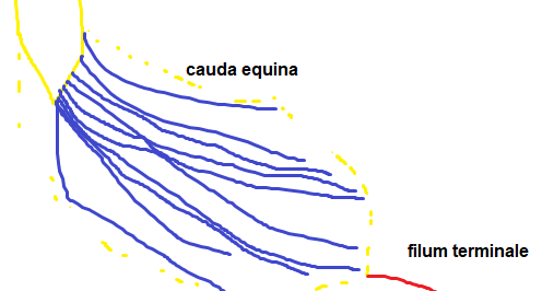 Medical Student Review Cauda Equina Conus Medullaris Filum Terminale The filum terminale (terminal thread) is a delicate strand of fibrous tissue, about 20 cm in length, proceeding downward from the apex of the conus medullaris. cauda equina conus medullaris filum
