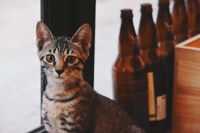 碧耳貓BeerCat的貓