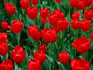 اجمل صور باقات ورد احمر جوري في العالم
