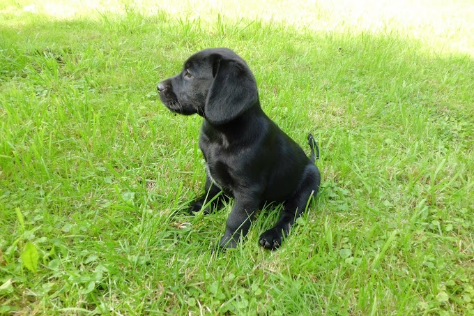 How to feed your Labrador Puppy: How Much, And The Best Food