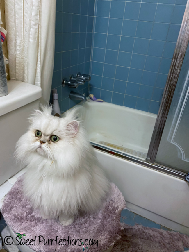 Silver shaded Persian Cat sitting on toilet in front of shower