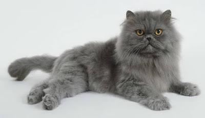 Kucing Persia Terkenal Di Indonesia