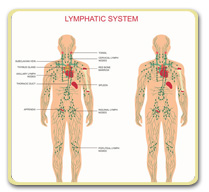 The Mysterious Lymphatic System - eDocAmerica