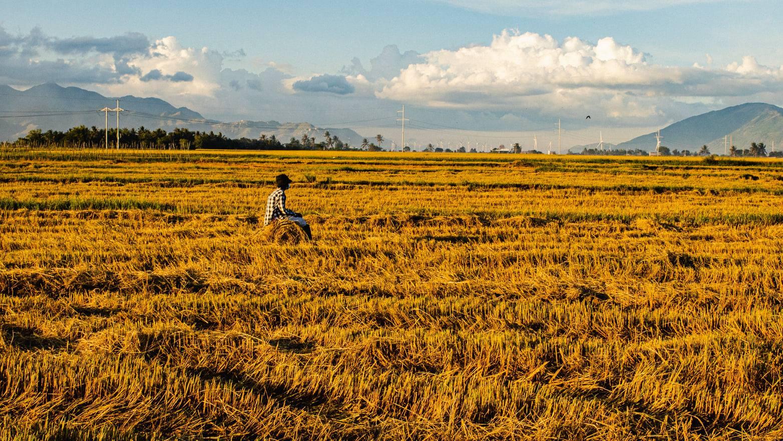 Cánh đồng lúa Ninh Thuận đẹp bạt ngàn mùa thu hoạch
