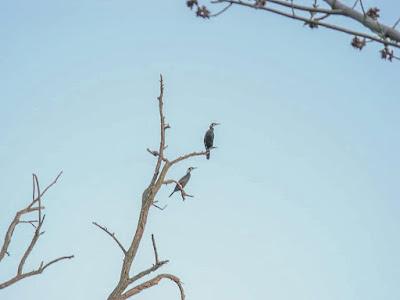 Cormorani al Lago di Falciano del Massico