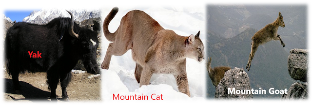 Mountains animals adapted for high altitude, mountain cat, mountain goat, yak, mountain habitat, The living organisms and their surroundings, NCERT class 6, chapter 9, NCERT class 6th Science Solutions