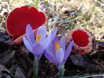 grzyby 2019, grzyby w marcu, krokusy na Orawie, czarki